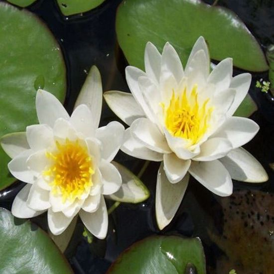 Queen of Whites Water Lily